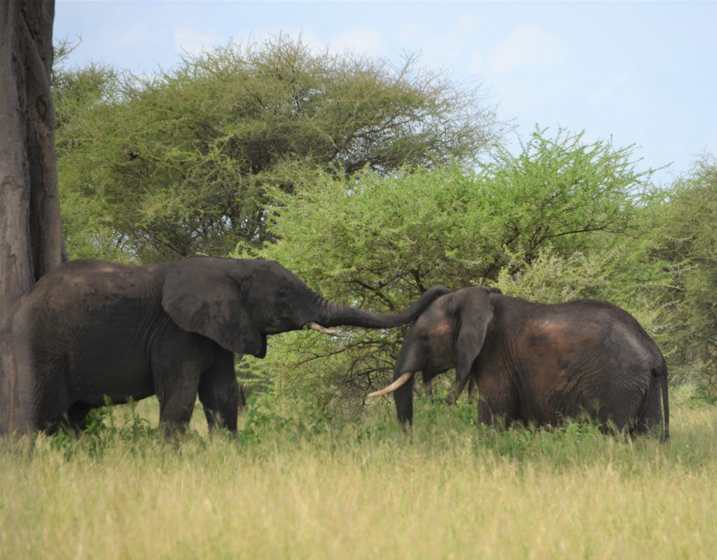 madame m blog voyage  notre safari  les éléphants de Tarangire