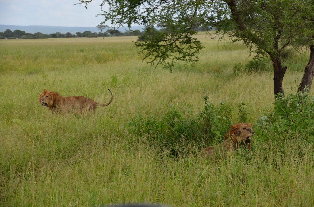 madame m blog voyage  notre safari  les lions de Tarangire