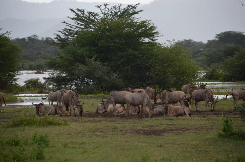 madame m blog voyage  notre safari en Tanzanie  les animaux de Manyara
